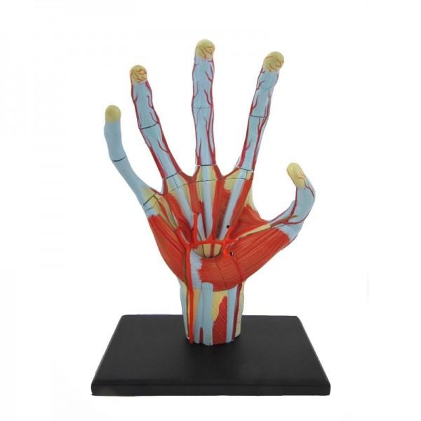 Anatomie Modell Mensch - Hand | Anatomie Puzzle | Physikspiele & Co ...