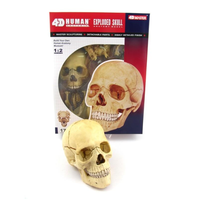 Anatomie Modell Mensch - Schädel | Anatomie Puzzle | Physikspiele ...