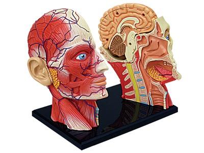 Anatomie Modell Mensch - Kopf | Anatomie Puzzle | Physikspiele & Co ...
