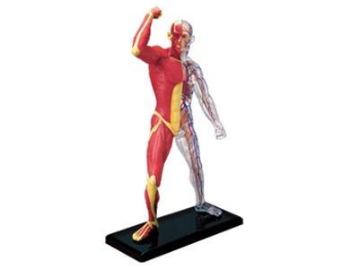 Anatomie Modell Mensch - Muskeln und Skelett | Anatomie Puzzle ...