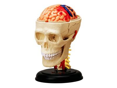 Anatomie Modell Mensch - Schädel Hirn Nerven | Anatomie Puzzle ...